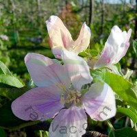 Apple Blossom Fragrance for Rainbow and RainMate