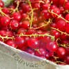 Brandy Currant