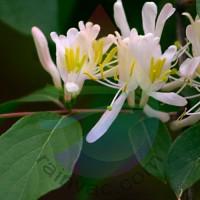 Honeysuckle Fragrance for Rainbow & RainMate