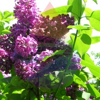 Lilac Fragrance for Rainbow & RainMate