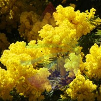 Mimosa Fragrance for Rainbow & RainMate